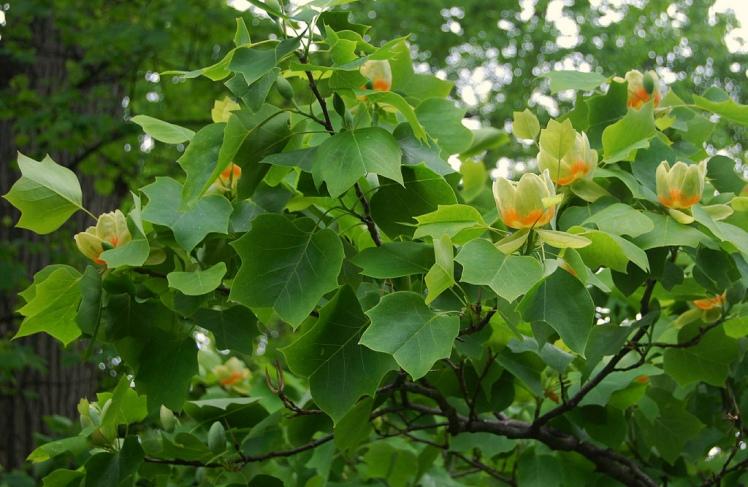 Liriodendron_tulipifera_foliage
