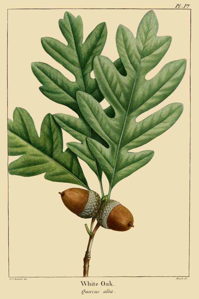 Quercus_alba_leaf