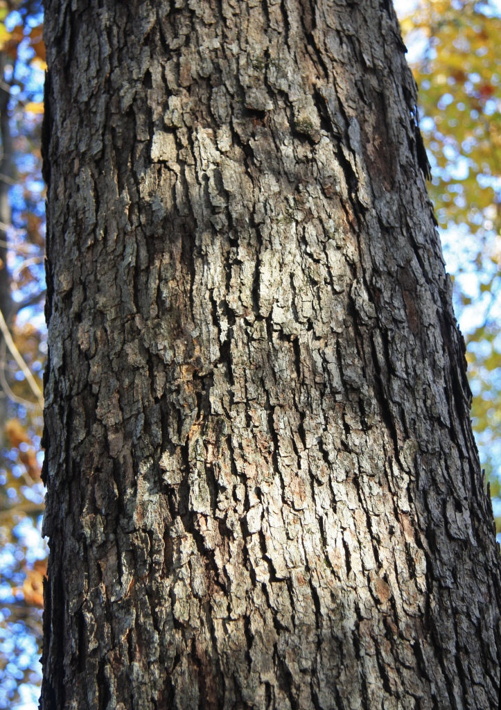 Quercus_alba_white_oak_bark